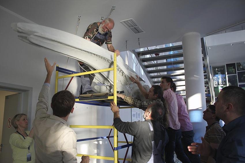В Музее мирового океана в Калининграде устанавливают скелет 12-тиметрового кита